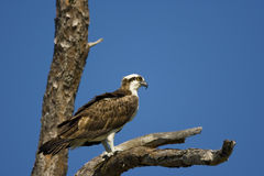 Osprey perched on a dead tree. An Osprey perched in a dead tree and watching the canal for fish Royalty Free Stock Photo