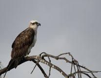 Osprey perched on desert oak. A perched osprey stares out over the bay from a tree Stock Photography