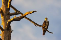 Osprey perched in evening sun stock images