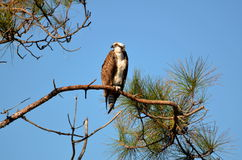 Osprey perched on high pine branch Stock Images