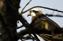 Osprey Perched High in the Tree Royalty Free Stock Photography