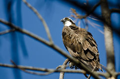 Osprey Perched High in the Tree Stock Images