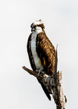 OSPREY PERCHED LOOKING DOWN Stock Images