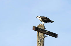 Free Osprey Perched On A Telephone Pole Royalty Free Stock Photos - 36857798