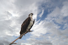 Free Osprey Perched On Branch Stock Photos - 25682253