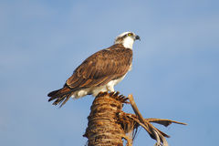 Osprey Perched On Palm. A watchful osprey is perched on a palm tree in Everglades National Park stock image