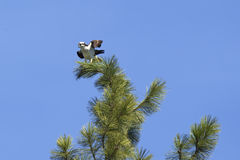 Osprey perched on top of tree. Stock Photo
