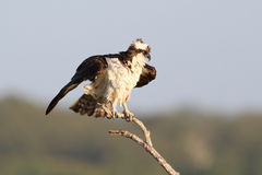 Osprey Perched in a Tree Stock Photography