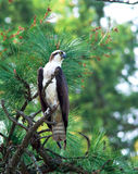 Osprey perched on tree. Royalty Free Stock Image