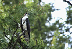 Osprey perched on tree. Royalty Free Stock Images