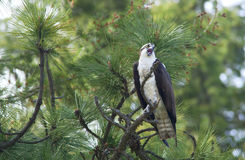 Osprey perched in a tree. Stock Images