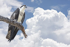 Osprey Perched on Tree Limb with Clouds Stock Image