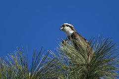 Osprey perched in the tree. Royalty Free Stock Photography