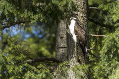 Osprey perched in tree. Stock Photography