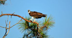 Osprey perched on tree top Royalty Free Stock Photo
