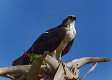 Osprey eating fish in tree in Florida Royalty Free Stock Images