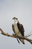 Osprey perching Royalty Free Stock Photography