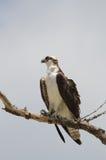 Osprey perching Royalty Free Stock Photography