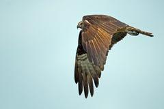 Osprey Stock Images