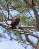 Osprey in pine tree guarding fresh fish royalty free stock image