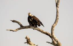 Osprey poised to fly Stock Photos