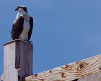 Osprey on a pole Royalty Free Stock Photography