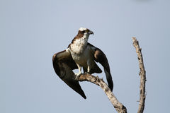 Osprey Preparing to Take Flight Stock Images