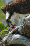 Osprey and prey royalty free stock photography