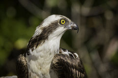 Osprey Profile. Profile of an osprey head and shoulders in Ding Darling Wildlife Refuge on Sanibel Island Florida royalty free stock photography