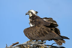 Osprey Protecting Chicks Stock Photography