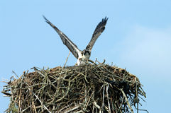 Osprey Protecting Nest Stock Photo