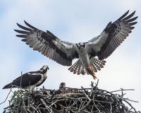 Osprey Providing Dinner for the Family. An osprey delivers a fresh-caught dinner to his mate and young in the family nest Stock Image