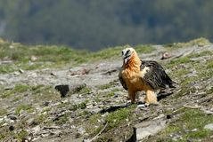 osprey pyrenees Стоковое Изображение