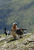 osprey pyrenees Стоковое Фото