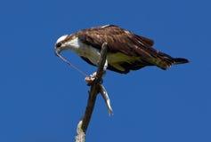 Osprey que come el intestino Imagenes de archivo