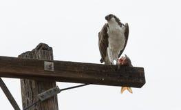 Osprey que come peixes Fotos de Stock Royalty Free