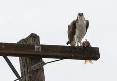 Osprey que come peixes Imagem de Stock