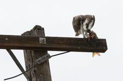 Osprey que come peixes Imagens de Stock Royalty Free