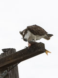 Osprey que come peixes Foto de Stock Royalty Free