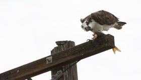 Osprey que come peixes Imagens de Stock