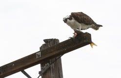 Osprey que come peixes Fotografia de Stock
