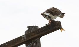 Osprey que come peixes Fotos de Stock