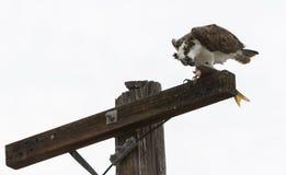Osprey que come peixes Fotografia de Stock Royalty Free