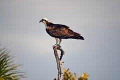 Osprey que espera en presa Foto de archivo