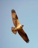 Osprey que mira fijamente abajo Fotos de archivo libres de regalías