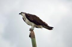 Osprey que se sienta en polo Fotos de archivo
