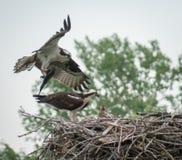 Osprey que trae pescados a la familia Fotografía de archivo