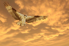 Osprey que viene adentro para un aterrizaje durante una puesta del sol anaranjada hermosa Fotografía de archivo