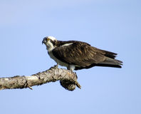 Osprey Remains Alert Royalty Free Stock Photos