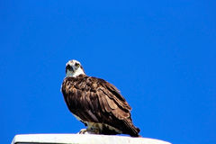 Osprey. An Osprey is resting on top of a lamp and staring at the camera under the crystal blue sky stock image